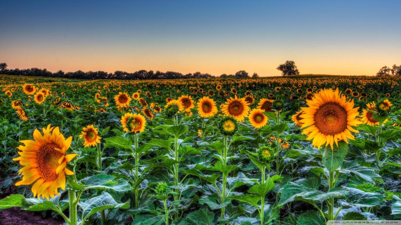 Sunflower-Sunset-HD-Images-Wallpaper1