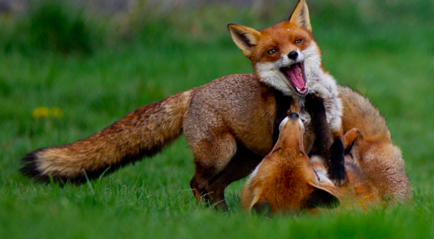 Screenshot_2020-06-16 All sizes Happy foxes playing Flickr - Photo Sharing
